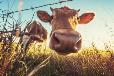 A UK DAIRY INITIATIVE TO REDUCE METHANE FROM ENTERIC FERMENTATION AND SUPPORT FARMERS