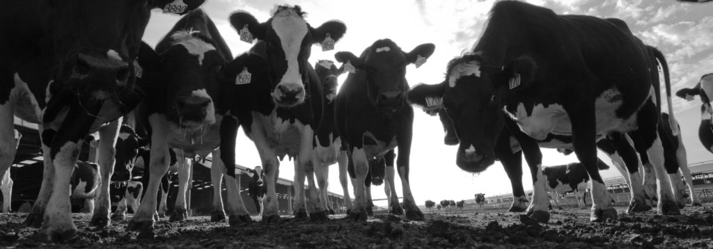 Mootral receives funding from the swiss climate foundation to reduce methane emissions from cows