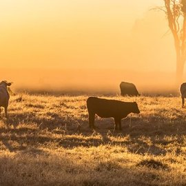 CLIMATE-FRIENDLY BEEF